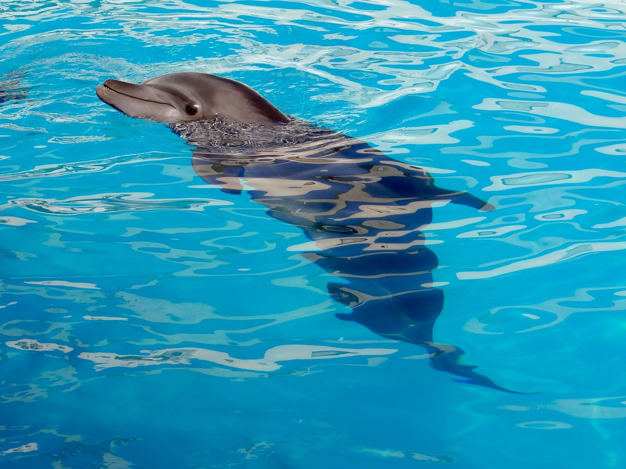 dolphin-1138753_1280