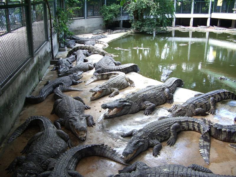 krokodilovaya-ferma4